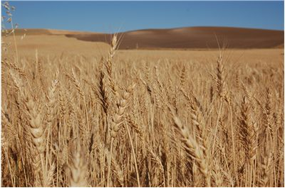 Picture - Bearded Wheat Field