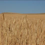 Picture - Harvest Wheat Field