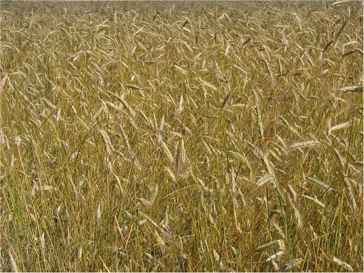 Picture - Ripe of Wheat