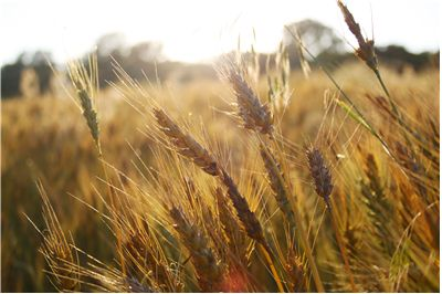 Picture - Sun on Wheat