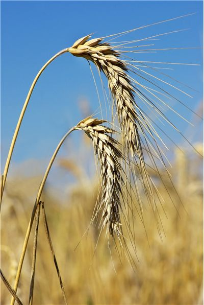Picture - Two Spikes of the Wheat