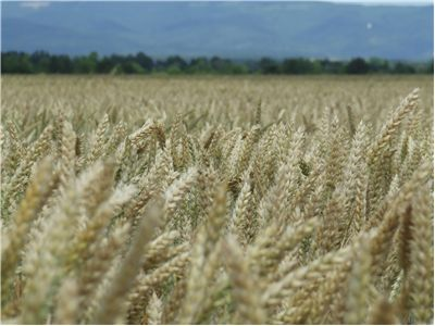 Picture - Wheat Crop