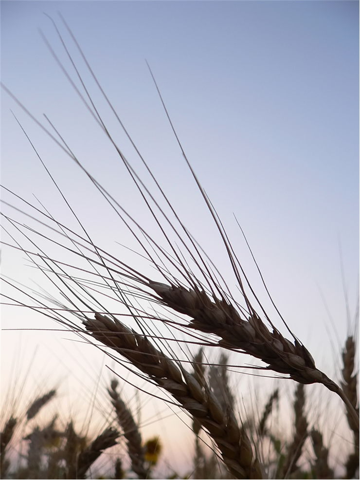 Picture - Wheat Ready to Harvest